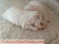 Pedigrí diminutos cachorros maltés para la libre adopción.