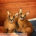 2017 servals exóticos, sabana y gatitos caracals